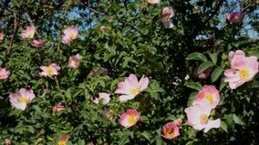 Bloeiende rozebottelbloemen en insecten die stuifmeel verzamelen stock video