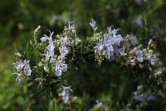 Bloeiende rozemarijn (Rosmarinus-officinalis) Royalty-vrije Stock Afbeelding