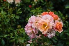Bloeiende rozen royalty-vrije stock afbeelding