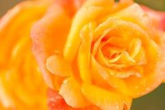 Bloeiende rozen Stock Afbeeldingen