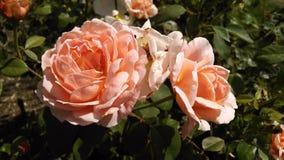 Bloeiende rozen Stock Foto