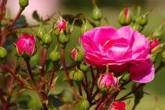 Bloeiende rozen Royalty-vrije Stock Foto's