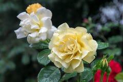 Bloeiende rozen onder de regendruppels stock fotografie