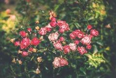 Bloeiende rozen, rode bloemen in het park op een heldere zonnige dag stock afbeelding