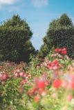 Bloeiende rozen, rode bloemen in het park op een heldere zonnige dag Stock Foto