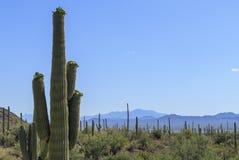 Bloeiende Saguaro-Cactus Stock Foto