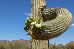 Bloeiende Saguaro-Cactus Stock Afbeelding