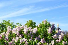Bloeiende sering in de lente Stock Foto's