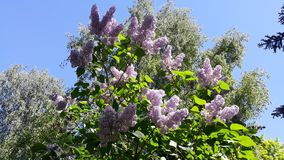 Bloeiende sering in de lente in het park royalty-vrije stock foto's