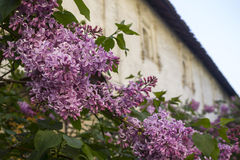 Bloeiende sering in de lente Stock Afbeeldingen