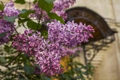 Bloeiende sering in de lente Stock Foto