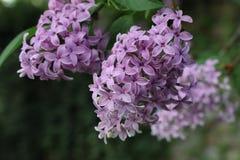 Bloeiende sering in de tuin stock foto