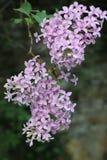 bloeiende sering in de tuin op een natuurlijke achtergrond royalty-vrije stock afbeelding
