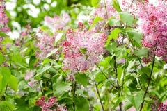 Bloeiende sering Heldere verzadigde kleuren kan De lente stock afbeeldingen