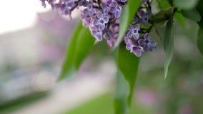 Bloeiende sering met weelderige en mooie bloemen op de achtergrond van de stadsstraat Royalty-vrije Stock Foto