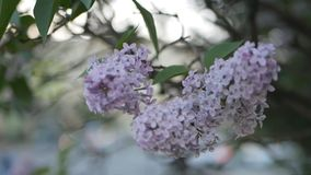 Bloeiende sering met weelderige en mooie bloemen op de achtergrond van de stadsstraat stock footage