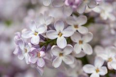 Bloeiende seringen in de lente in de tuinaard Stock Foto