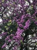 Bloeiende seringen op een boom stock foto's