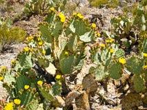 Bloeiende Stekelige Peer cactus-1 stock foto