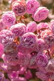 Bloeiende struik met rozen stock afbeelding