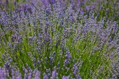 Bloeiende struik van lavendel Royalty-vrije Stock Afbeeldingen