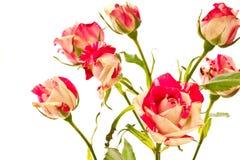 Bloeiende struik van rode rozen Stock Fotografie