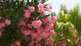 Bloeiende struik van roze oleander stock videobeelden