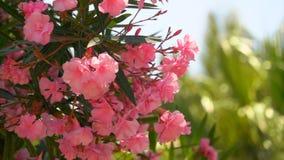 Bloeiende struik van roze oleander stock video