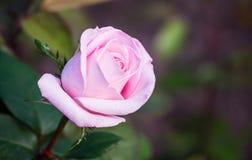 Bloeiende struik van roze rozen Stock Foto's