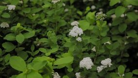 Bloeiende struik van witte lilac bloem onder blauwe hemel Het concept van de de lentebloem stock video