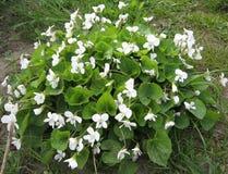 Bloeiende struik van witte viooltjes in de tuin enkel Geregend Het tuinieren van de Oekraïne Royalty-vrije Stock Fotografie