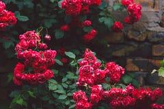 Bloeiende struiken van rode tuinrozen op bakstenen muur Royalty-vrije Stock Afbeeldingen
