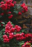 Bloeiende struiken van rode tuinrozen op bakstenen muur Stock Fotografie
