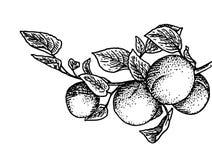 Bloeiende tak met perzikvruchten Royalty-vrije Stock Foto's