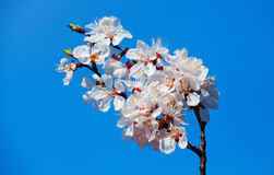 Bloeiende tak van abrikoos Royalty-vrije Stock Foto's