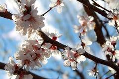 Bloeiende tak van abrikoos De lente stock afbeeldingen