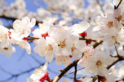 Bloeiende tak van abrikozenboom Stock Afbeelding