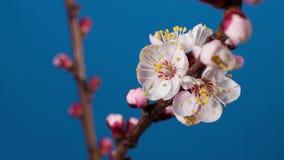 Bloeiende tak van abrikozenboom stock video