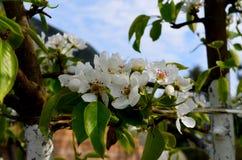Bloeiende tak van appel Stock Foto