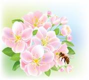 Bloeiende tak van appel met bij Stock Afbeelding