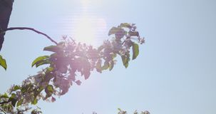 Bloeiende tak van appelboom stock videobeelden