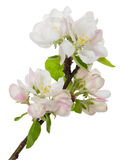 Bloeiende tak van appelboom Royalty-vrije Stock Afbeeldingen