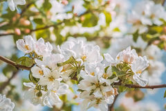 Bloeiende tak van appelboom, gestemde foto Stock Foto's