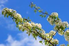 Bloeiende tak van appelboom tegen een blauwe hemel op een zonnige de lentedag Royalty-vrije Stock Afbeeldingen