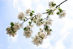 Bloeiende tak van de appelboom tegen de blauwe hemel Royalty-vrije Stock Fotografie