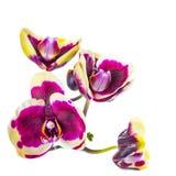 Bloeiende tak van donkere purple met gele randorchidee, phalaenop Stock Foto