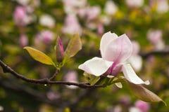 Bloeiende tak van magnolia in de regen Royalty-vrije Stock Afbeeldingen