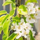 Bloeiende tak van peer Bloeiende de lentetuin Close-up Bloemen Mooie Mening Selectieve nadruk stock foto