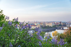 Bloeiende tak van sering op een achtergrond van de Vltava-rivier Stock Fotografie