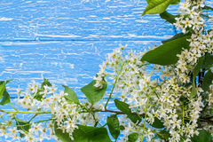 Bloeiende tak van vogelkers op een blauwe houten achtergrond Royalty-vrije Stock Afbeelding
